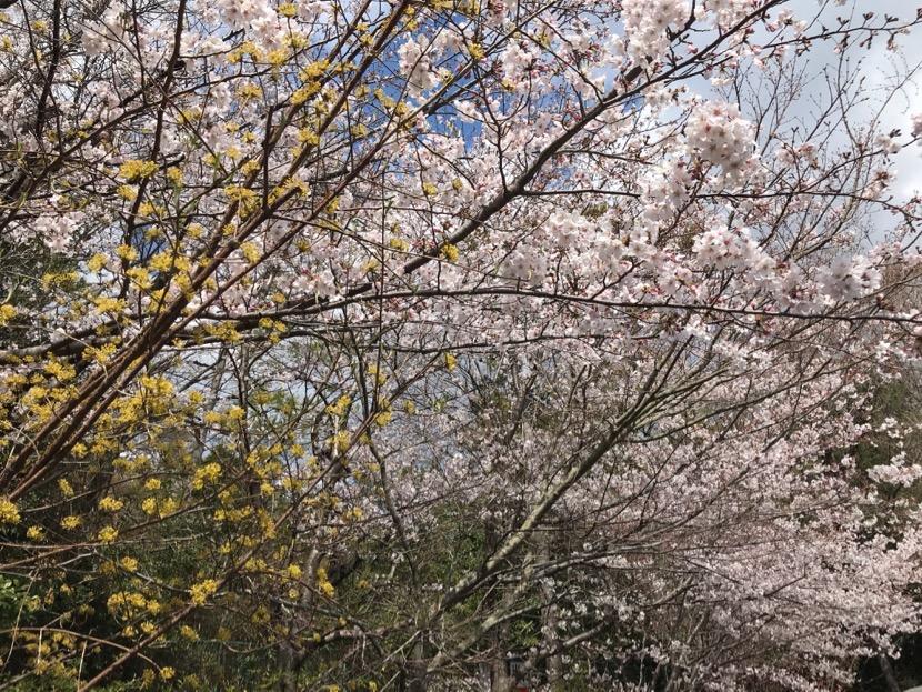 熱田神宮の桜